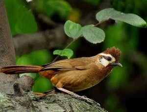画眉鸟训养关键 成就鸟中极品