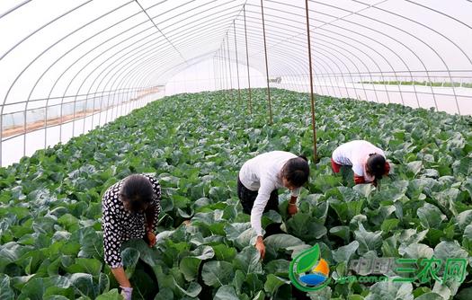 桂林市灌阳蔬菜标准化生产助农增收